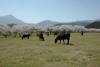 宮崎牛のテーマソング「今日はハレの日」