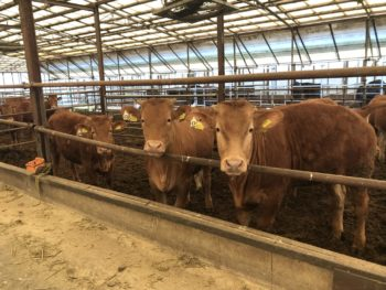 熊本褐毛和牛のメス牛の肥育に挑戦中です